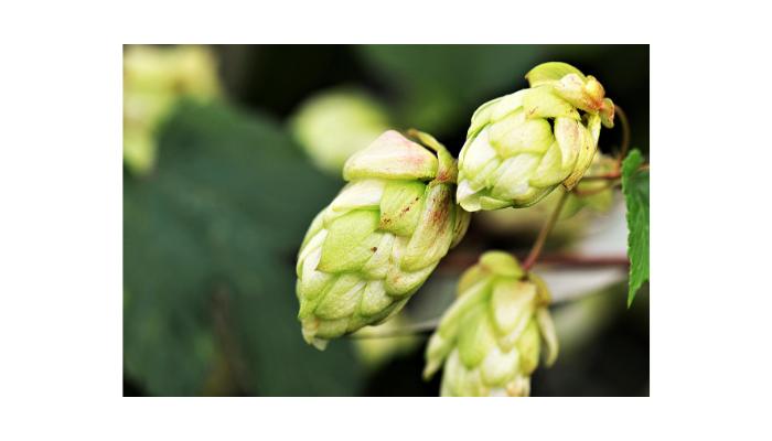 Il luppolo è l'ultimo arrivato tra gli ingredienti della birra (dettaglio fiori)